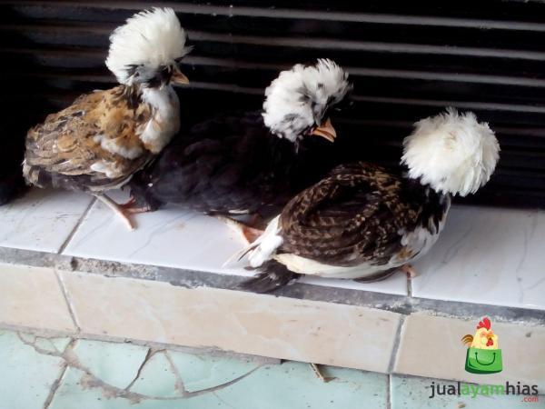 Ayam Polan Umur 2 Bulan Aneka Kombinasi Warna