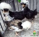 Ayam Poland Umur 2 Bulan dan Ayam Cemani Umur 2 Bulan Persipan Kirim Ke Pak Agus di Cikampek Kota