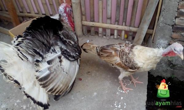 Indukan Ayam Kalkun Golden Palm Betina dan Ayam Kalkun Royal Betina Siap Kirim ke Ibu Srikomala di Koja Daerah Jakarta Utara