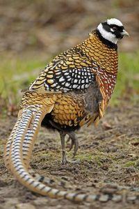 Reeves Pheasant