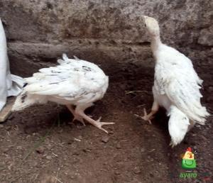 Ayam Kalkun Golden Palm Umur 2 Bulan