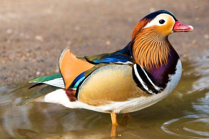 Bebek Mandarin Siap Berenang