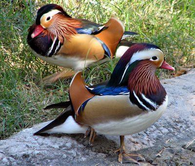 Bebek Mandarin berasal dari Tiongkok