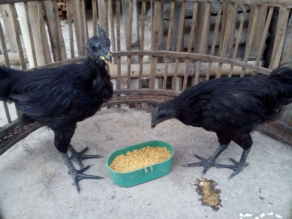 Ayam Cemani Umur 4 Bulan Pesanan Ibu Siti Muawanah di Boyolangu Tulung Agung Jawa Timur
