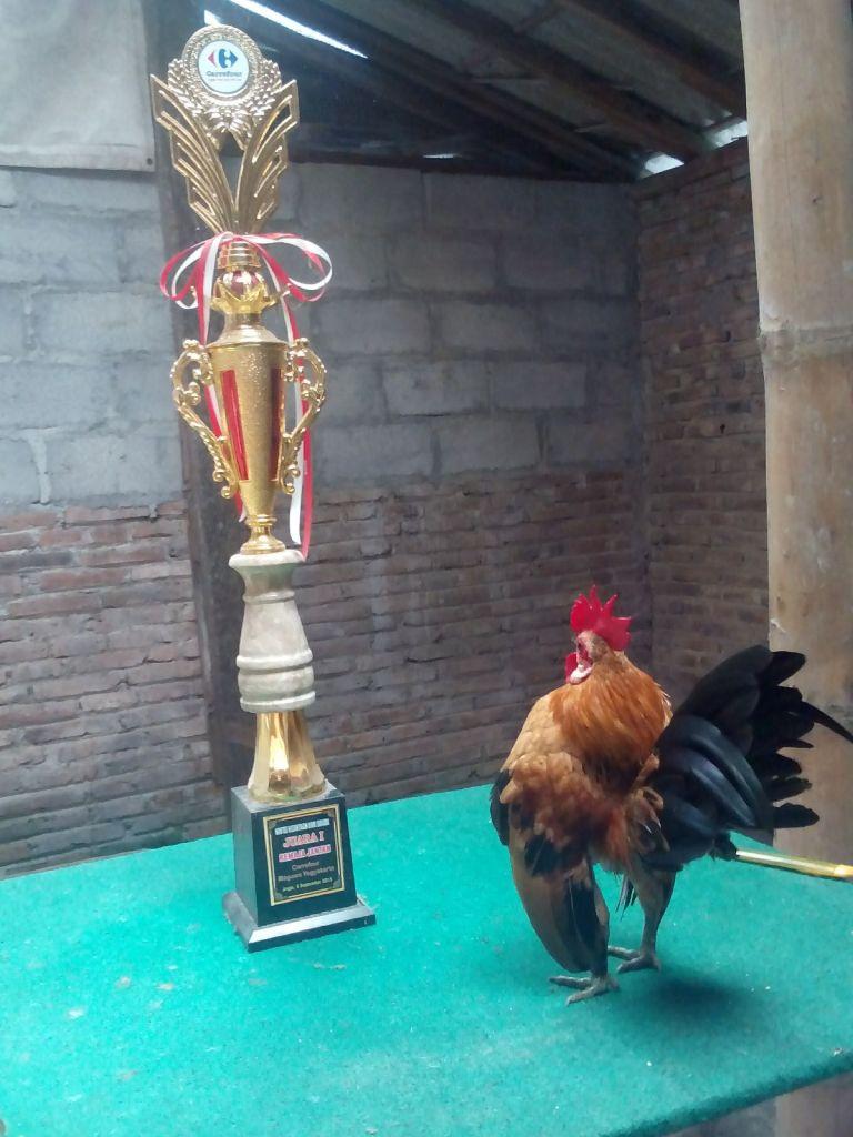 Ayam Serama Juara 2  Jual Ayam Hias HP : 08564 77 23 888 | BERKUALITAS DAN TERPERCAYA  Ayam Serama Juara