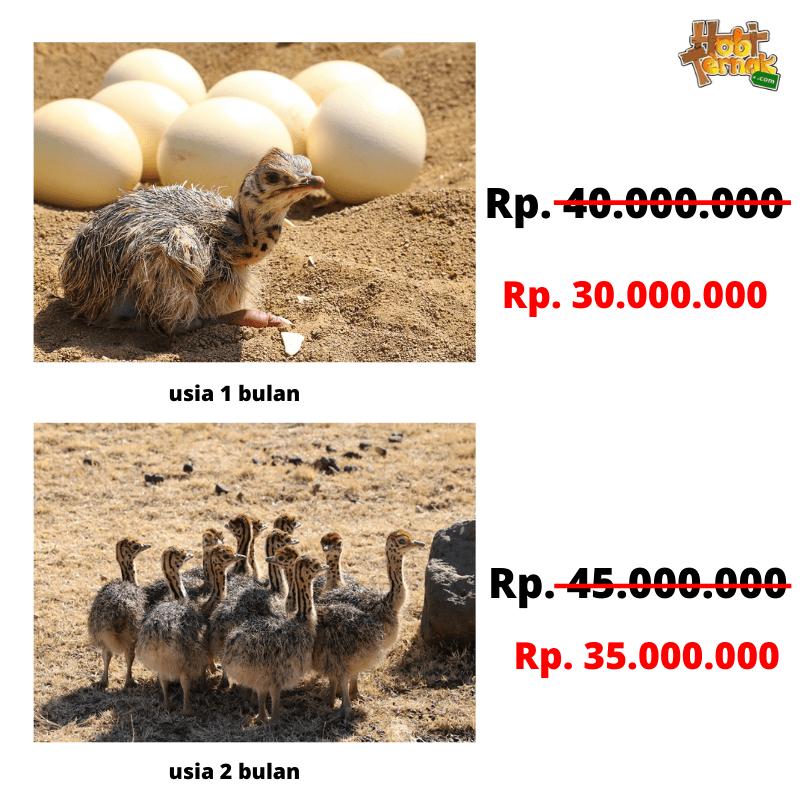 Copy of Copy of Add a heading 1  Jual Ayam Hias HP : 08564 77 23 888 | BERKUALITAS DAN TERPERCAYA  Menyediakan Burung Unta dengan Harga Terjangkau