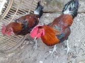 Ayam Pelung Indukan