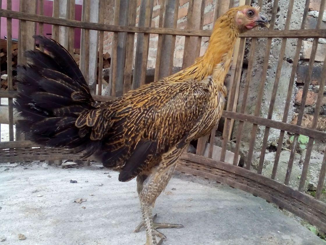 img 20151222 wa0004 Jual Ayam Hias HP : 08564 77 23 888 | BERKUALITAS DAN TERPERCAYA Ayam Pelung Betina Persiapan Kirim ke Pekanbaru