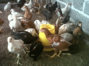 Ayam kampung Super 5  Jual Ayam Hias HP : 08564 77 23 888 | BERKUALITAS DAN TERPERCAYA  6 Poin Penting Membuat Kandang Ayam Kampung Super