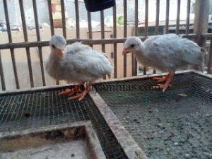 Ayam Mutiara Silver Usia 1 Bulan