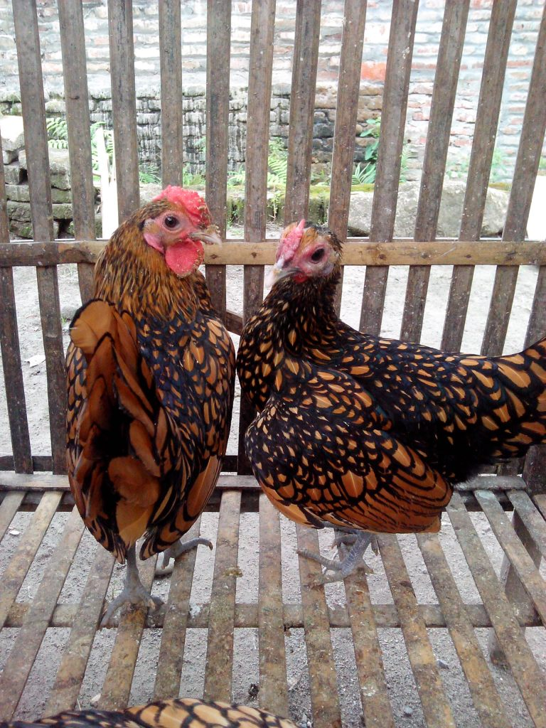 Ayam Batik Kanada