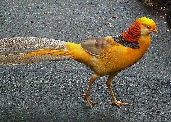 Ayam Yellow Pheasent atau ayam pegar kuning