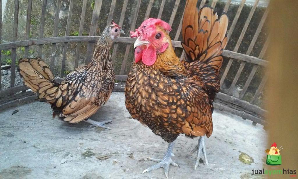 Ayam Batik Kanada Indukan Sepasang