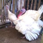 Ayam Kalkun Putih Indukan Sepasang Pesanan Bapak Dedyh di Subang