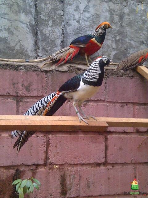 Red lady pheasant adalah hasil persilangan antara lady amherst pheasant dengan golden pheasant.
