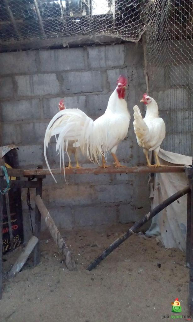 Jual Ayam Onagadori