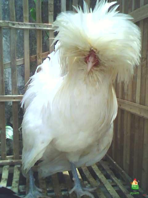 Ayam Polan Dewasa (6)
