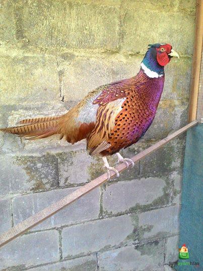 jual ringneck pheasant