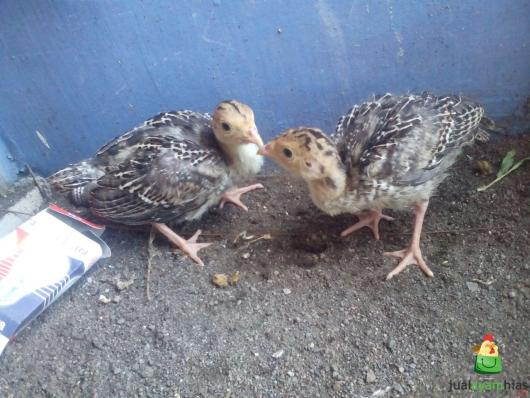 Ayam Kalkun Bronze Umur 1 Bulan