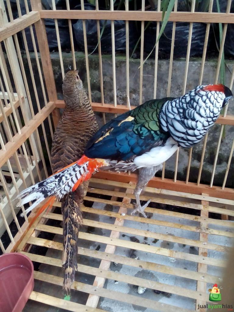 Lady Amhers's Pheasant postur tubuhnya hampir mirip seperti golden pheasant perbedaanya terletak di warnanya