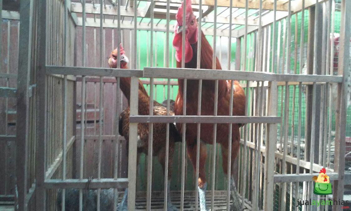 Ayam Pelung Indukan Sepasang