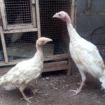 Beberapa Ayam Hias Pesanan Bapak Reza di Jakarta
