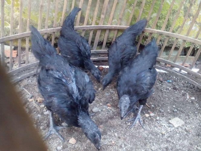 Ayam Cemani Usia 2 Bulan Pesanan Bapak Fajar di Banyuwangi