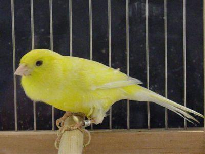 Burung Kenari