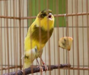 Burung kenari, cara merawat kenari, cara mengatasi kenari macet bunyi, kenari biar gacor, cara merawat kenari, agar suara kenari panjang
