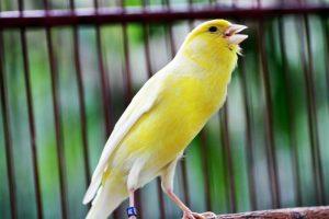 kenari 1 Tips Dasar dalam Memilih Burung Kenari yang Bagus untuk Kontes Jual Ayam Hias HP : 08564 77 23 888   BERKUALITAS DAN TERPERCAYA Tips Dasar dalam Memilih Burung Kenari yang Bagus untuk Kontes Tips Dasar dalam Memilih Burung Kenari yang Bagus untuk Kontes