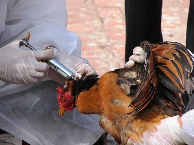 Pemberian vaksin pada ayam joper di perlukan sebagai langkah proteksi kesehatan ayam kita. Dan tentu saja hal ini bagian mengantisipasi ayam sakit.