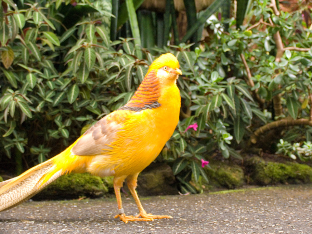 Yellow Pheasent Image