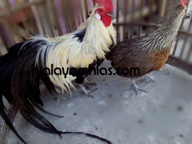 Ready Stok Ayam Hias di Kandang Jualayamhias.com