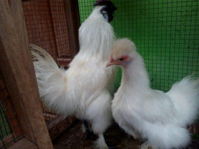 Cara Mudah Membuat Ayam Hias Kita Sehat di Segala Kondisi
