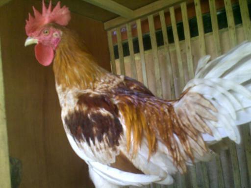 Ayam Ketawa memiliki 3 jenis suara yaitu geretek, daga dan dodo