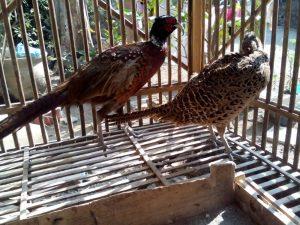 Ringneck Pheasant Usia 5 Bulan