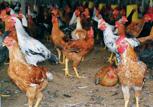 Ayam Kampung Super (JOPER) adalah persilangan dari ayam bangkok pejantan dengan petelur betina
