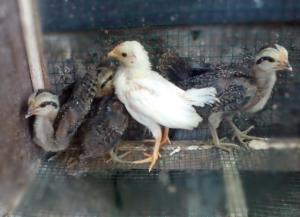 Ayam Onagadori Usia 1 Bulan