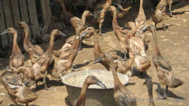 Beternak bebek petelur bisa menjadi kesibukan yang dapat menjadi keuntungan.
