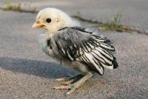 Anak Ayam Kate