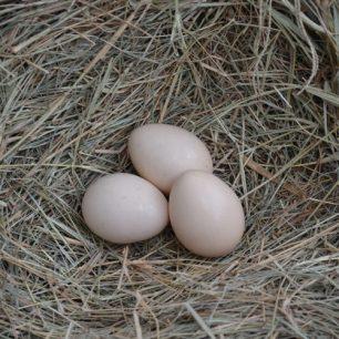 egg cemani Jual Ayam Hias HP : 08564 77 23 888 | BERKUALITAS DAN TERPERCAYA The Pure Breed Poultry Of Ayam Cemani Eggs For Sale