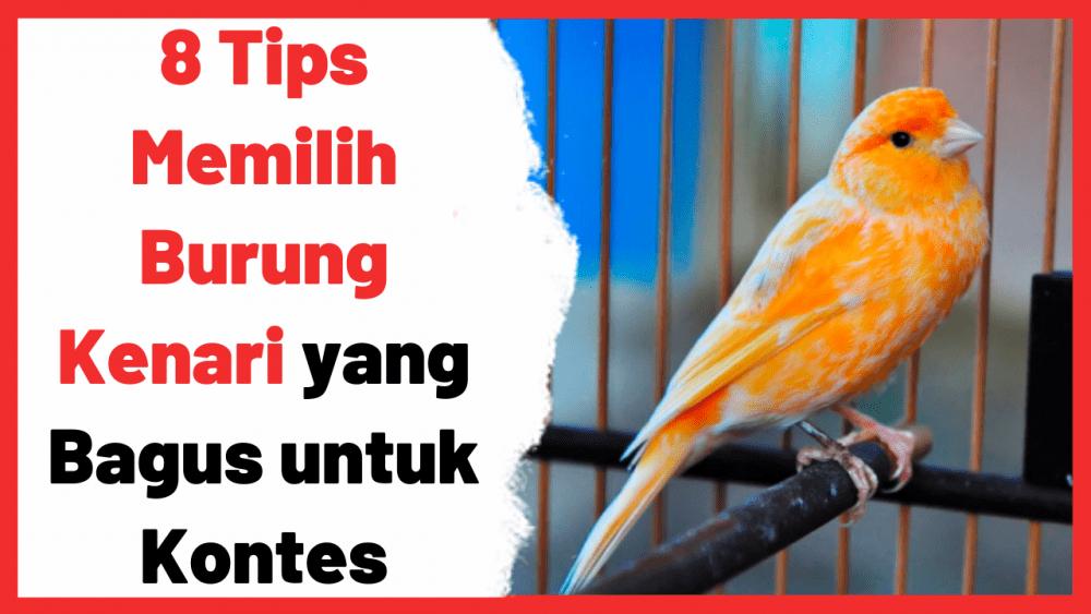 Tips Dasar Dalam Memilih Burung Kenari Yang Bagus Untuk Kontes