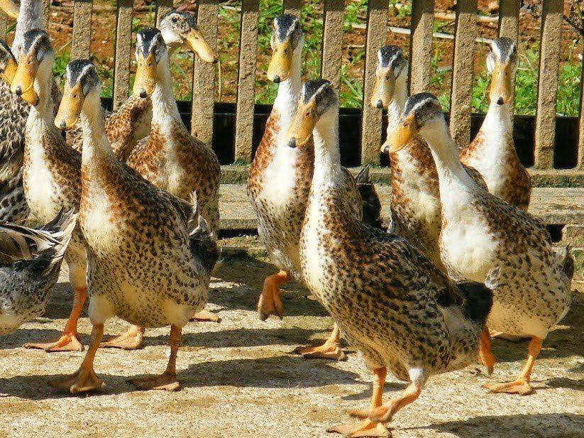 Bebek Alabio memiliki keunggulan yaitu produktivitas telurnya yang tinggi hingga mencapai 300 butir/ ekor/ tahun | Bebek Alabio