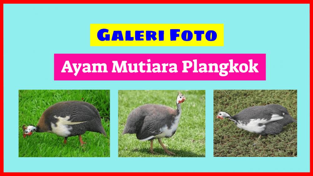 Galeri Foto Ayam Mutiara Plangkok