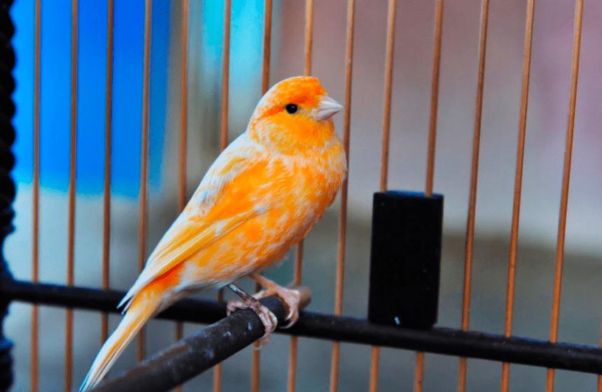 Pembersihaan kandang burung kenari dapat dilakukan secara terjadwal, yakni 2 - 3 kali seminggu | Kandang kenari