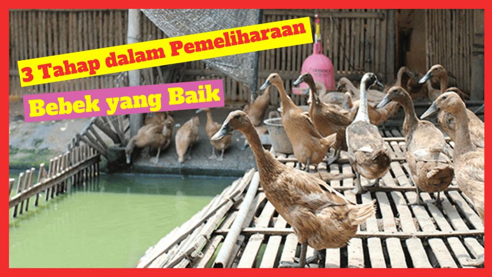 3 Tahaoan dalam pemeliharaan Bebek yang baik