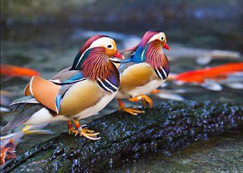 Sepasang bebek mandarin