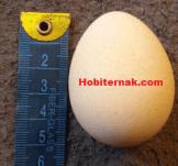 Telur Ayam Mutiara