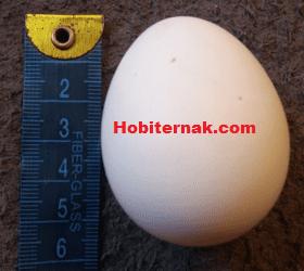 Telur Ayam Polan Image