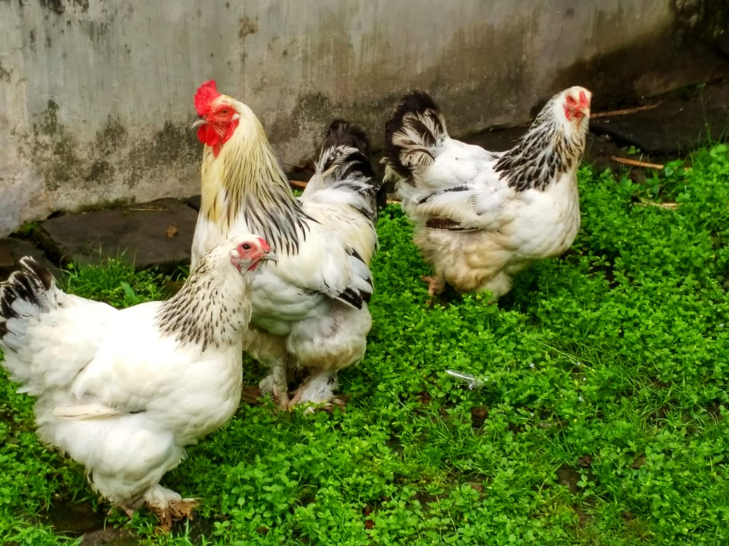 Idukan Ayam Brahma